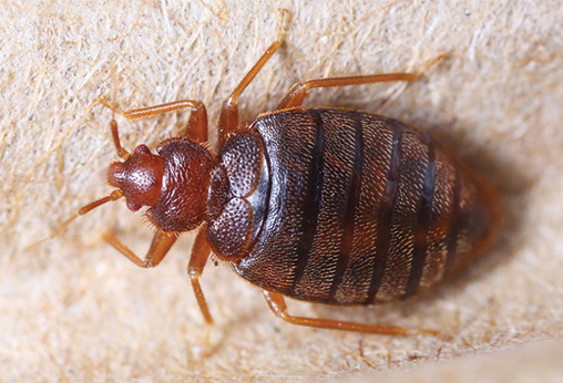 Bed Bugs Control